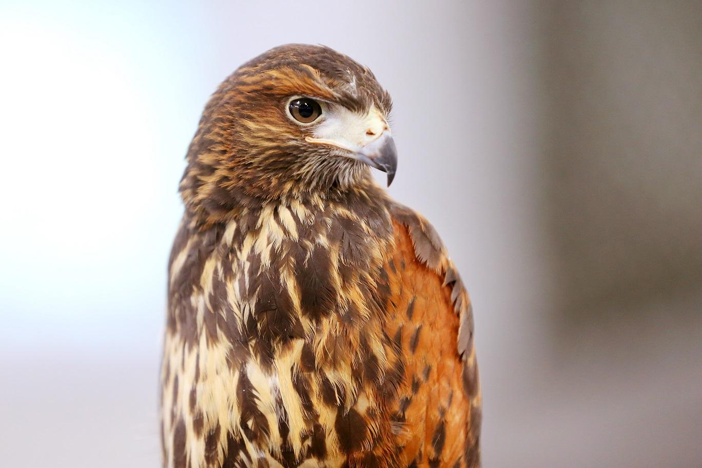 Avliving av rovfugl og rovdyr – fengsel eller frigang?